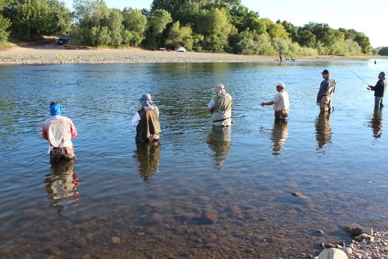 Fishing : Exploring the Mysteries of American River Shad During the Time of Coronavirus