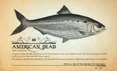 American Shad - Image from the Wilton Historical Society