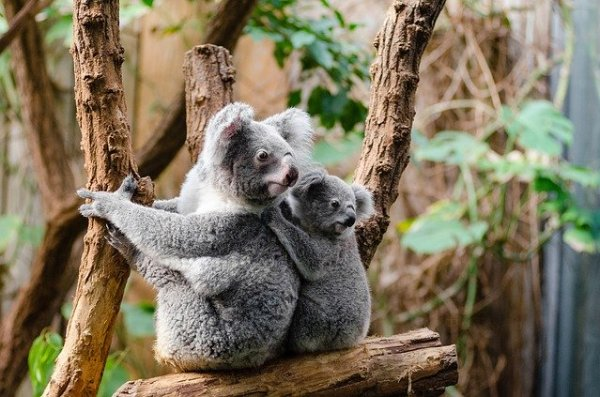Koalas Face Extinction in New South Wales, Australia