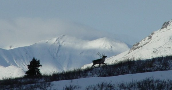 A member of the Porcupine caribou herd, which conservation and native groups say would be horribly impacted if fossil fuel exploration and extraction takes place in ANWR's Coastal Plain. (Photo: G MacRae/flickr/cc)