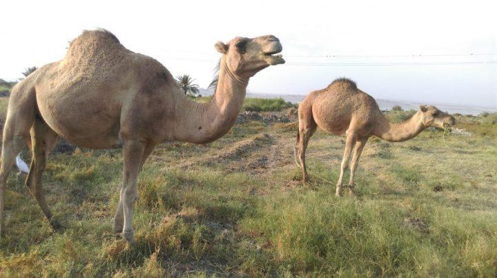 Camel in Fayoum, egypt