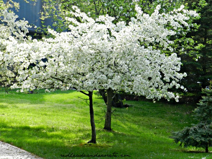 Michigan Cherry Blossom Tree