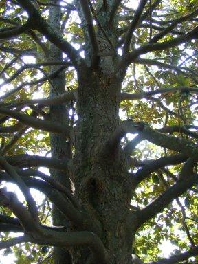 Magnolia branch structure