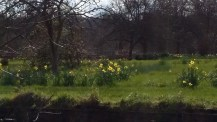 Daffodils in the Orchard