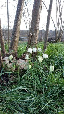 Snake's Head Fritillaries in the Nuttery