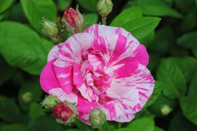 13.Rosa Mundi