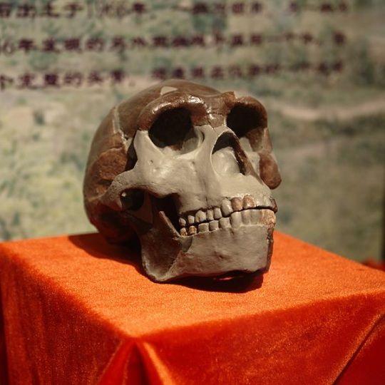 Réplica del cráneo del Hombre de Pekín en China.