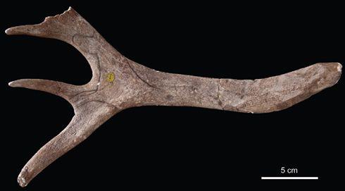 En esta cornamenta se encuentra el primer grabado humano