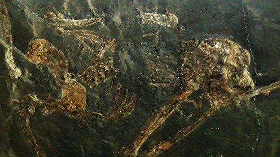 esqueleto oreopithecus