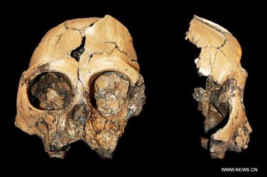 craneo simio fosilizado