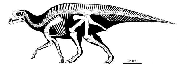 Reconstrucción del esqueleto de Joe, un bebé Parasaurolophus.