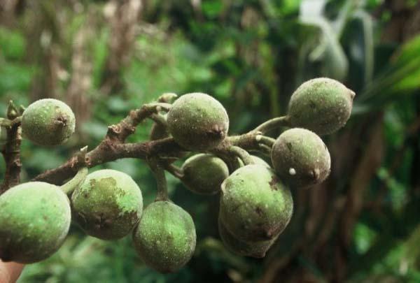 Ficus sycomorus, o árbol de Sicomoro, una de las especies introducidas en Israel en la Edad del Hierro.