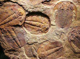 trilobites periodo cambrico