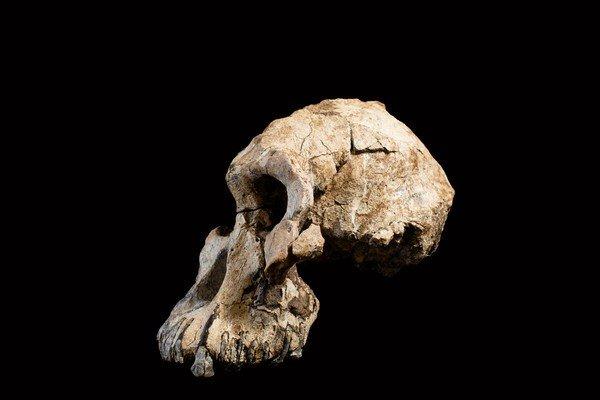 lateral del cráneo de Australopithecus afarensis