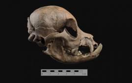 craneo perro mascota romano