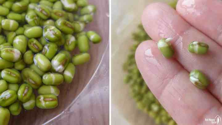 soaked mung beans
