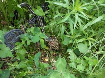 Snake vs. toad 002