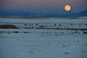 Full moon rises near a herd of grazing elk near South Park, CO