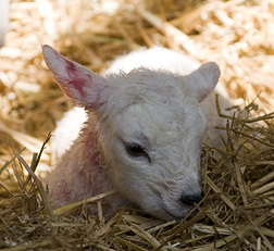 lambing weekend, berkshire, reading, amners farm