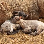 earth trust lambing weekends, lamb, newborn, oxfordshire