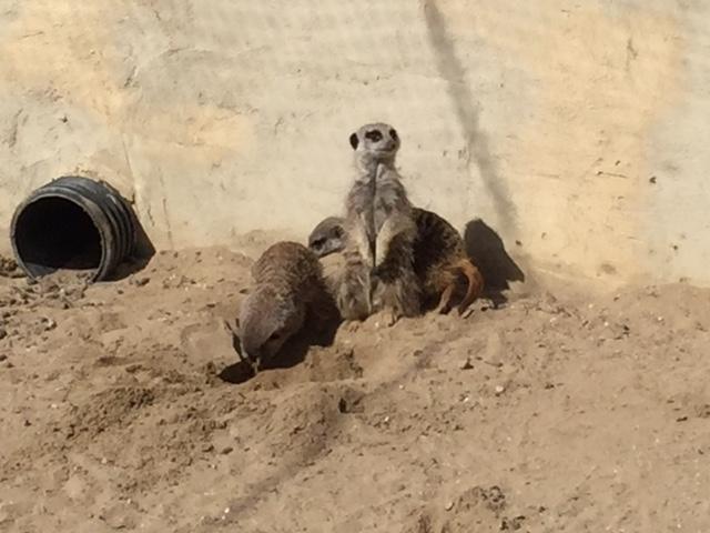 meerkat, meerkat experience, millets falconry, oxfordshire
