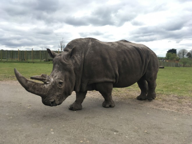west midland safari park review, safari parks kids, rhino