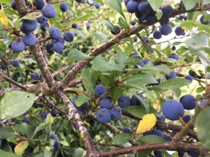 sloe gin recipe, when to pick sloes, recipe for sloe gin