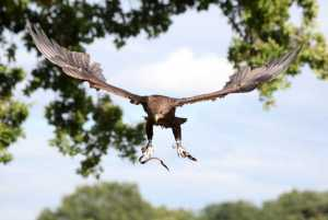 bird of prey flying demo