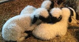 lambing days near london, lambing events Reading, Lambing events Berkshire
