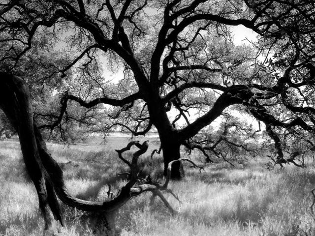 Santa Rosa Plateau Oak