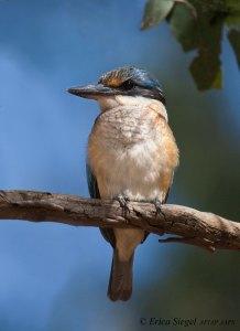Sacred Kingfisher, Birkdale photo by Erica Siegel