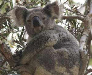 Koala in Cleveland