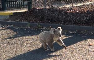 Koala in Toondah Harbour PDA