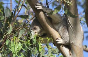 Koala feeding