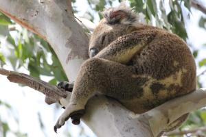 057 Koala ESW north of Oyster Pt Cleveland 24 January 2015 comp