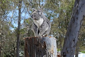 Koala stumped by development