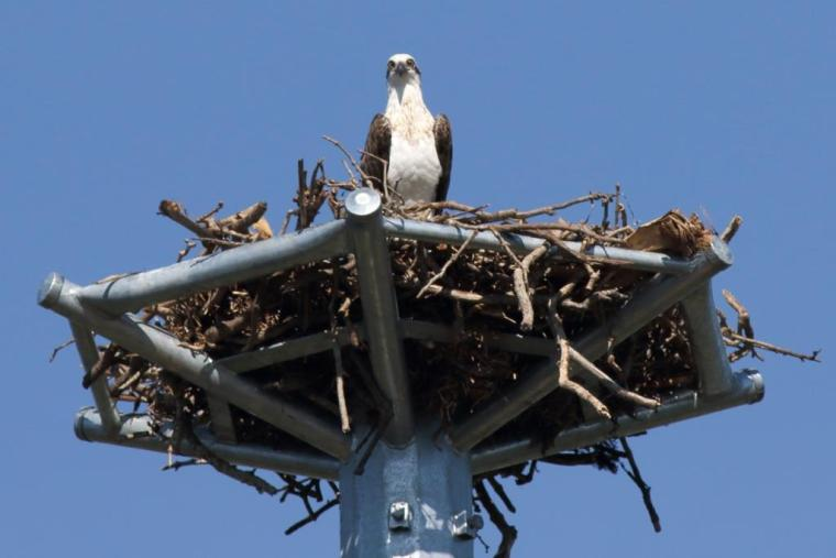 123 Osprey on nest Wellington Point 23 April 2015 comp
