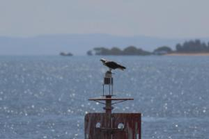 Osprey, Wellington Pt in background 24 March 2015