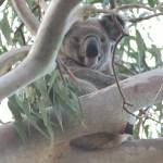Ormiston koala photographed in Tolson Terrace