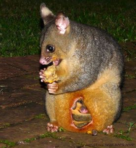 Brushtail possum with joey in the pouch - by Erica Siegel