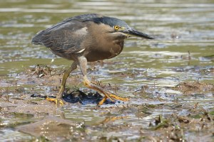 Mudflats are home to birds like this striated heron