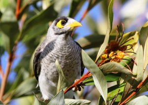 Masked mobster: noisy miners are increasing in number and spreading at the expense of smaller birds