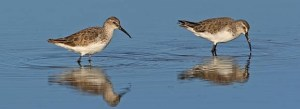 Curlew sandpipers Photo: Birdlife