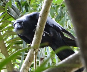 The Torresian Crow is a remarkable problem solver. Copyright Gisela Kaplan