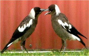 Magpie juveniles negotiating a game of hide and seek. Copyright Gisela Kaplan