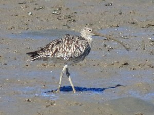 Critically endangered eastern curlew on the Toondah Harbour tidal flats