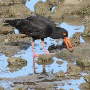 The sooty oystercatcher is not often seen in Moreton Bay