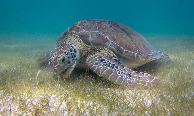 Green turtles frequent the seagrass in the proposed Toondah Harbour development area