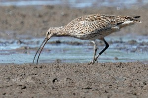 Eastern curlew feeding on tidal mudflats next to Toondah Harbour