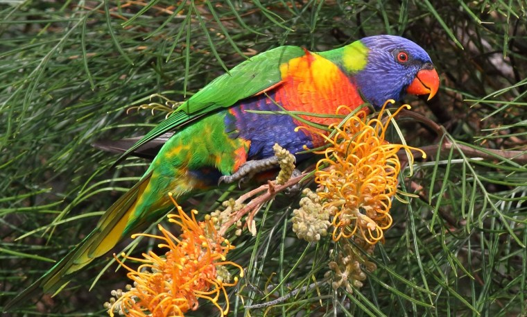 Rainbow lorikeets are likely to feature prominently in the 2017 Bird Count